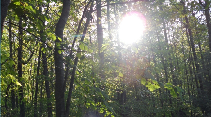 Sunlight in the Trees