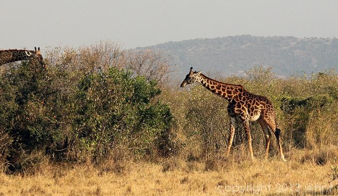 A personal favorite--the giraffes!
