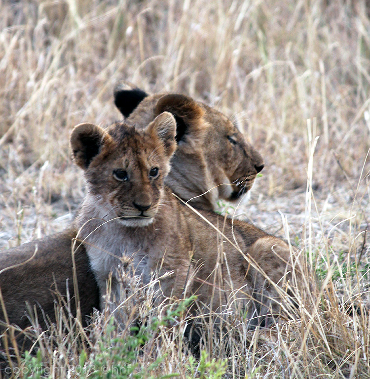 We saw several prides of lions during our safari. So impressive!