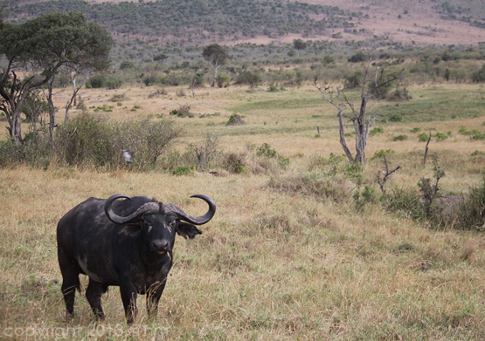 One of the first animals we saw on our visit to the Masai Mara...a water buffalo.